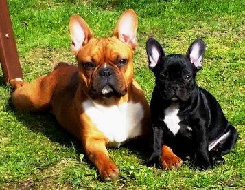 Gesunde Franzosische Bulldoggen Aus Franken